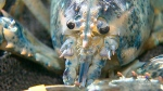 CTV Toronto: Rare blue lobster found